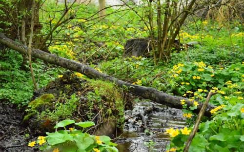 """""""Żółte kolory wiosny ,kwitnąca knieć błotna"""" - Wiktoria Niemiec  image"""
