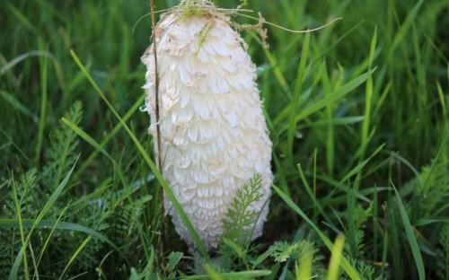 Oskar Sondej - Czernidłak kołpakowaty w moim ogrodzie  image